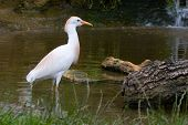 A Cattle Egret ( Bubulcus ibis ) wading trough a pond looking for fish . poster