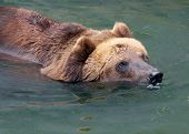 brown bear swiming and taking a bath poster