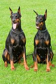 Two sitting dobermans on the green background poster