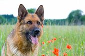 Germany Shepherd portrait with red poppy flower poster