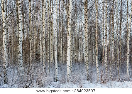 Frozen Trees In The Finnish Forest In The Winter. White Snow Covering The Trees. Arctic Nature In Ve