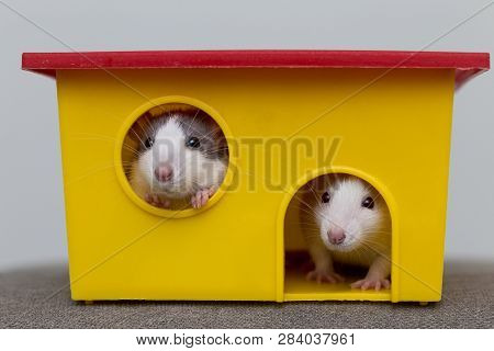 Two funny white and gray tame curious mouses hamsters with shiny eyes looking from bright yellow cage window. Keeping pet friends at home, care and love to animals concept. poster