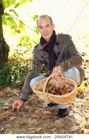 A mature man picking chestnuts.