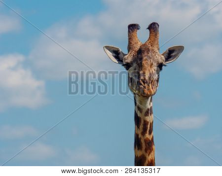 Reticulated giraffe in a Kenya