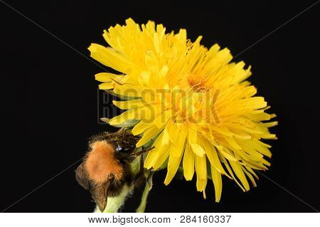 Bumblebee Eat On A Yellow Bright Dandelion Isolated On Black Background