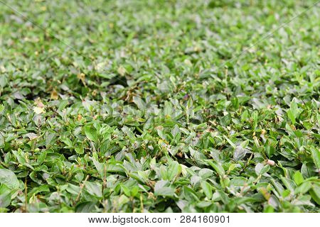Laurel Bush With Aching Pruned Leaves Close Up