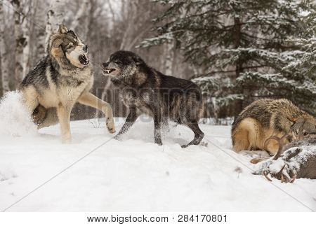 Black Phase Wolf (canis Lupus) Defends Deer Carcass Winter - Captive Animals