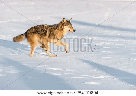 Grey Wolf (canis Lupus) Runs Right In Morning Light Winter - Captive Animal