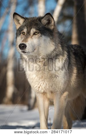 Grey Wolf (canis Lupus) Stands Looking Out Winter - Captive Animal