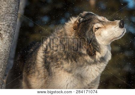Grey Wolf (canis Lupus) Shakes Off Snow Winter - Captive Animal