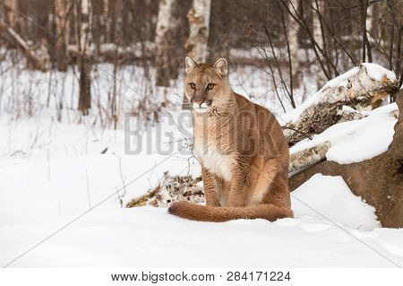 Adult Female Cougar (puma Concolor) Sits In Snow Looking Out Winter - Captive Animal