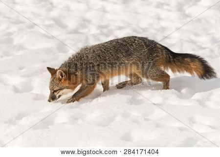 Grey Fox (urocyon Cinereoargenteus) Walks Left Through Snow Winter - Captive Animal