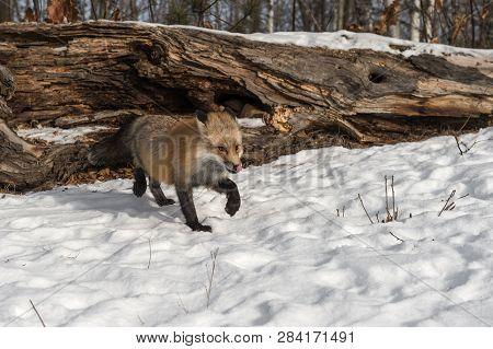 Amber Phase Red Fox (vulpes Vulpes) Steps Foward Licking Nose Winter - Captive Animal