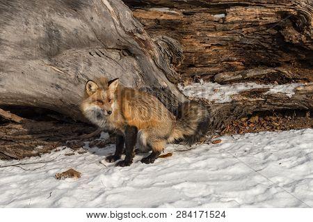Amber Phase Red Fox (vulpes Vulpes) Defecates Near Log Winter - Captive Animal