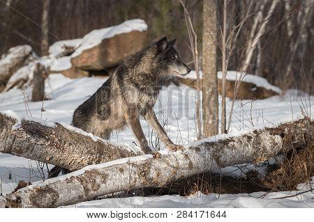 Black Phase Grey Wolf (canis Lupus) Straddles Logs Winter - Captive Animal
