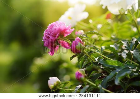 Beautiful Fresh Pink And White Flowers Peonies In The Garden. Gardening Services.