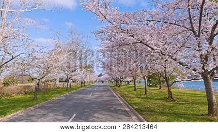 Road With Cherry Trees In Bloom In East Potomac Park Near The Water, Washington Dc, Usa. Spring Land