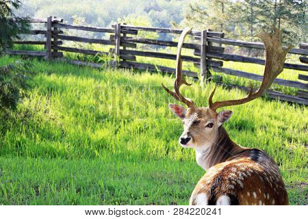 Male Chital or cheetal deer, also known as spotted deer or axis deer in the forest meadow.