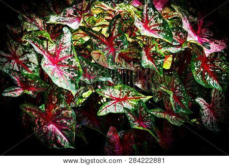 Colorful Leaf Caladium Bicolor On Dark Background / Queen Of The Leafy Plants