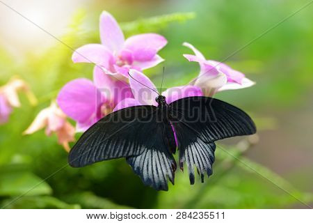 Tropical Butterfly Great Mormon (papilio Memnon) Sitting On Pink Orchid Flower. Large Swallowtail Na
