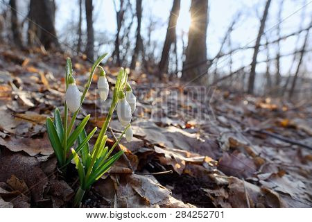 First Spring Flowers, Snowdrops In Forest, Sunlight