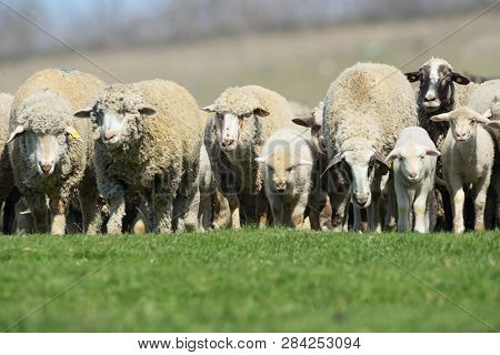 Sheeps And Lambs On Spring Field, Close Up