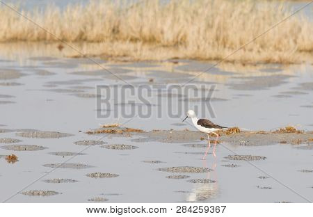 Steltkluut, Black Winged Stilt, Himantopus Himantopus - Botswana