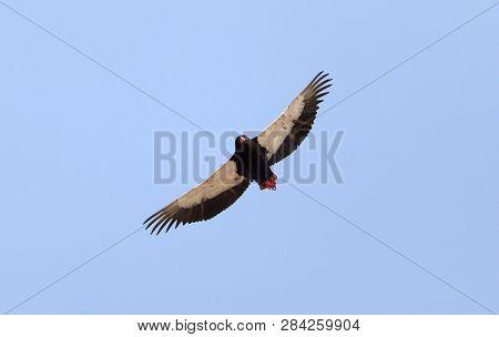 Bateleur Flying Above The Kalahari In Botswana