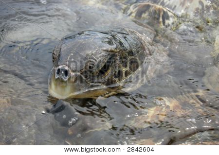 Sea Turtles In The Caribbean - See Portfolio