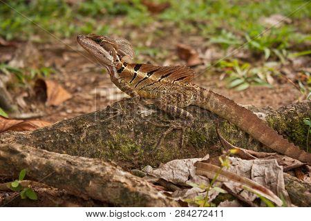 Jesus Christ Lizard In Corcovado National Park In Costarica
