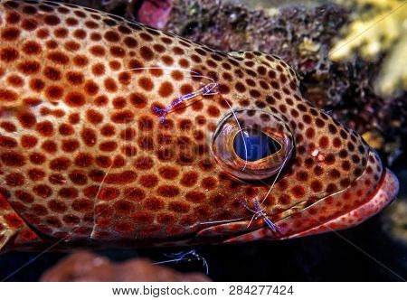Graysby,cephalopholis Cruentata Is A Grouper With Cleaner Shrimp Feeding