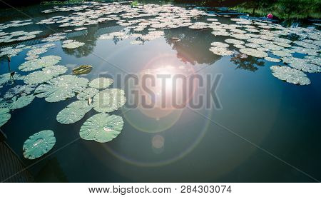 Lotus Pond In The Moning With Sunrise And Light On Water Surface / Water Lily Leaf