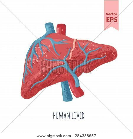 Human Liver Anatomy Vector Illustration. Organs For Surgeries And Transplantation. Isolated On White