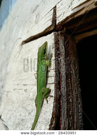 Lizard On Plywood