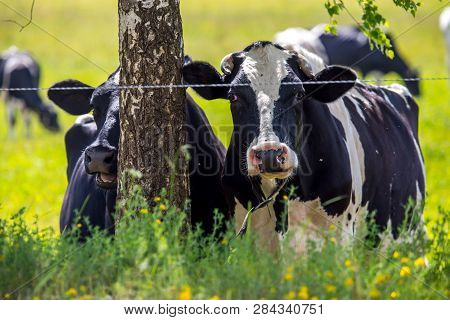 Dairy Cows Pasture In Green Meadow In Latvia. Herd Of Cows Grazing In Meadow. Cows In Meadow In Spri