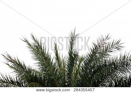 Cycad Tree Leaves On White Isolated Background For Green Foliage Backdrop