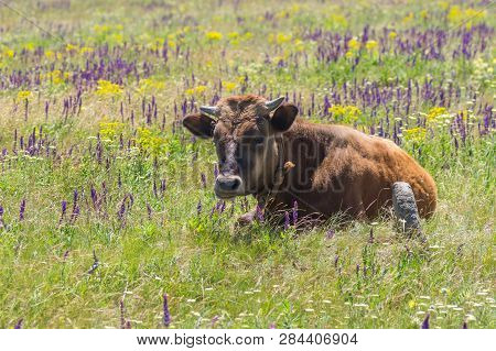 Cute Young Bull-calf Resting On Summer Flowering Meadow