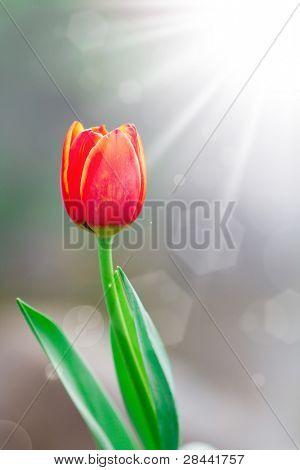 Tulips in spring sun