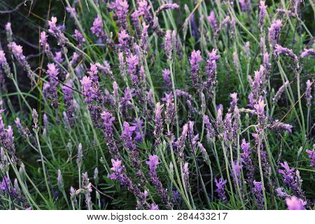 Lavender plants with its beatiful lila flowers poster