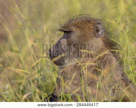 Chacma Baboon (papio Ursinus) Feeding On Grass Seeds In Kruger National Park South Africa