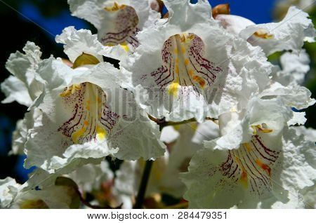 Southern Catalpa Tree Flowers On A Blue Sky Background Close Up.blooming Catalpa Bignonioides Common
