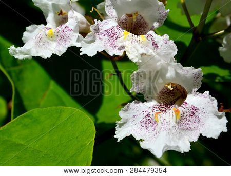 Southern Catalpa Tree Flowers Close Up.blooming Catalpa Bignonioides Commonly Called The Catawba Or