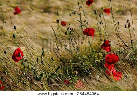 View Of Golden Wheat Field With Papaver Flowers. Late Summer Countryside Landscape. Macro Photograph