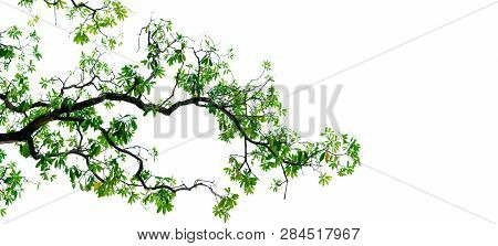 Tree Branch With Green Leaves Isolated On White Background. Branch Of Tree Backdrop. Nature Texture