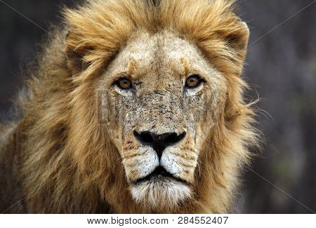 Male Lion Portrait, Looking Into The Camera. Balule Nature Reserve, Kruger Park, South Africa
