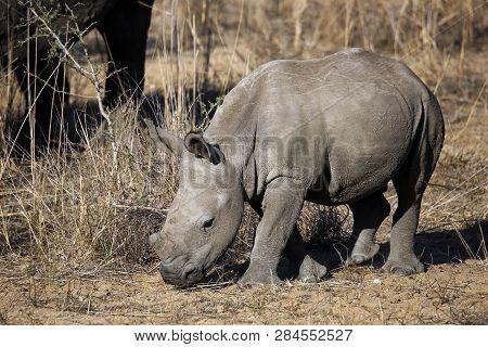 White Rhino Calf (ceratotherium Simum). Modlito Game Reserve, Kruger Park, South Africa