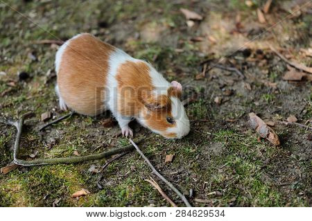Full Body Of White-brown Domestic Guinea Pig (cavia Porcellus) Cavy. Photography Of Nature And Wildl