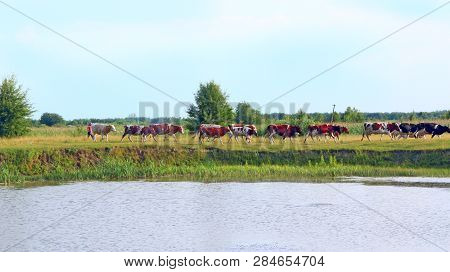 Cows Grazing On Green Farm Pasture In Summer. Landscape With Cloudy Sky And Cows Grazing On Meadow N