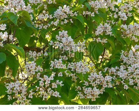 Southern Catalpa Tree Flowers As A Floral Background.blooming Catalpa Bignonioides Commonly Called T
