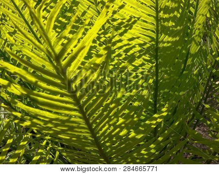 Close Up Of A The Foliage Of A Cycad, Cycas Armstrongii, In Litchfield